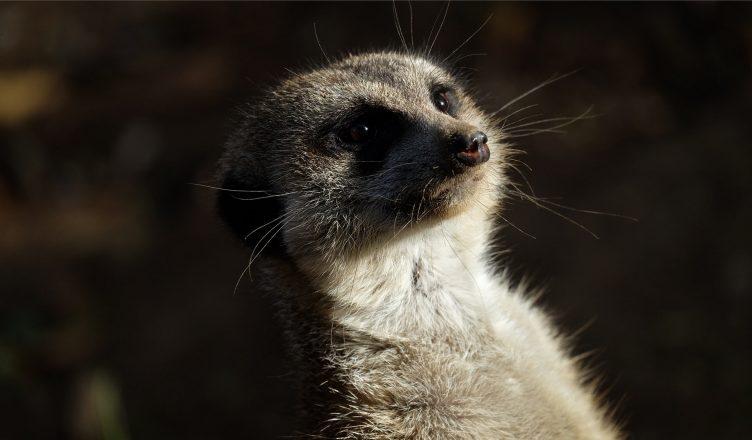 Meerkat at Nashville Zoo